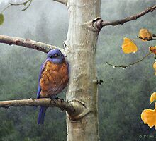 chilly morning bluebird in rain by R Christopher  Vest