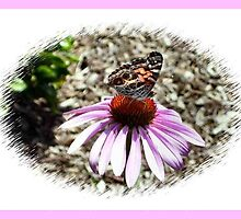 Purple Coneflower with Butterfly by carlyncards