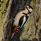 Great spotted woodpecker (Dendrocopos major) by Peter Wiggerman