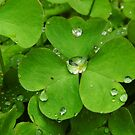 Drops On The Shamrock Leaves by WildestArt