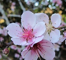 pink peach blossom by Michaela Stephens