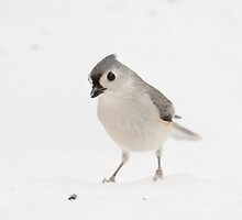 Tufted Titmouse by dwornham