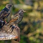 Starling - Sturnus vulgaris by Lauren Tucker