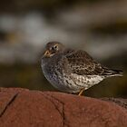 Purple Sandpiper by Jon Lees
