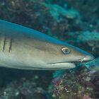 White-tipped Reef Shark by Mark Rosenstein