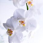 orchid by Maria Mazhirina