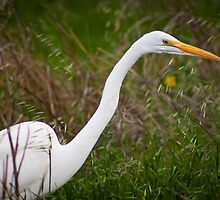 Great Egret by gerardofm4