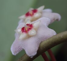 Hoya Flower 2. by Elisabeth Thorn