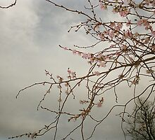 Early Cherry Blossoms  by Jessica Reilly