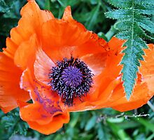 Orange and Purple Poppy by Jessica Reilly