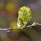 Catkin by lynn carter