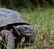 Gopher Tortoise Grin by bman48