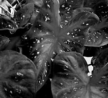 Coleus in B&W by ctheworld