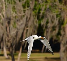 Mid Air Tern by bman48