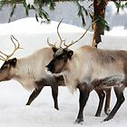 Caribou Capture by vette