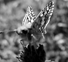 BUTTERFLY IN GRAY-SCALE by Sandra  Aguirre