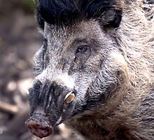 Visayan Warty Pig by rosepetal2012