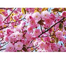 Cherry tree blossom Photographic Print