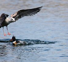 Seagull and Merganser Food Fight by LisaThomasPhoto