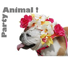 Party Animal!  Bulldog with Flower Bonnet Photographic Print