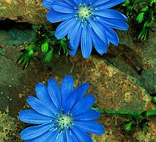 CHICORY by Chuck Wickham