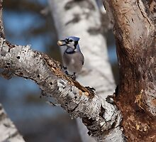 Blue Jay by Eunice Gibb