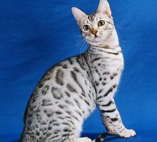 Bengal Cat Breeder by urbansafari