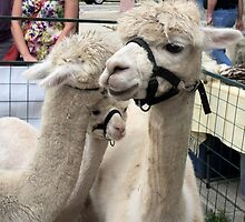 Llama affection by smithmansell