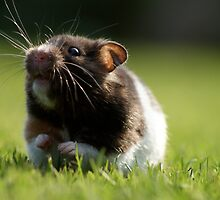 Hamster in the Grass by douglaswood