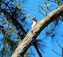 Red Headed Woodpecker by Cynthia48