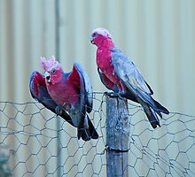 Galahs on a Fence by InspiredEye