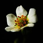 Strawberry Blossom by Alan Harman