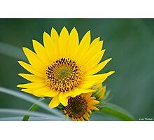 Yellow Sunflower Close Up Photographic Print