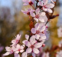 Almond Blossoms in Spring by BonniePhantasm