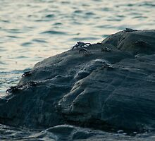 Marine crabs scuttling over rocks by photoeverywhere