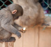 monkey feeding by photoeverywhere