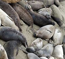 beach covered in seals by photoeverywhere