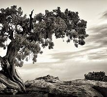 Juniper Tree by Mark Sykes