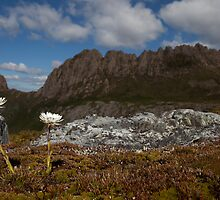 Paper Daisies at Cradle Mountain by Garth Smith