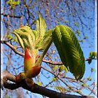 Spring - Chestnut tree  by Redrose10
