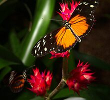 Longwing Visit by Roger  Swieringa