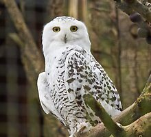 Snowy owl by Virulens