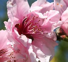 Close Up Peach Tree Blossom Against Blue Sky by taiche