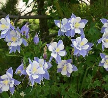 Colorado Columbine by Claudia Harrison