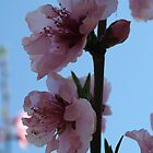 Pastel Pink of Peach Tree Blossom by taiche