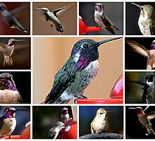 COLLAGE OF HUMMINGBIRDS #1 by JAYMILO