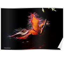 STAPELIA GIGANTEA - Giant carrion flower - REUSE AASBLOM Poster