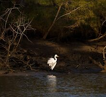 Intermediate Egret by Steve Bass