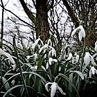 Snow Drops by threeblackdots