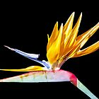 Bird of Paradise Flower by Lynn Bolt